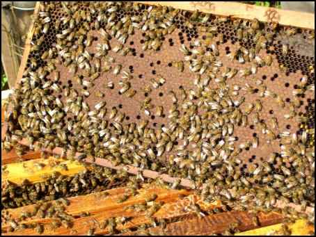 bees brood boxes