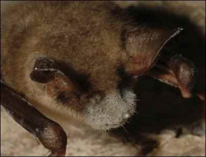 A bat with White-nose-Syndrome
