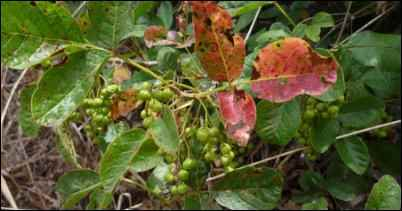 Poison Oak berries start appearing in late spring to early summer. Take note of the patchiness of the leaves.