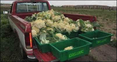 cabbage brassica