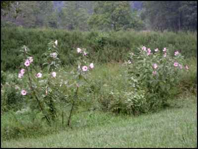 Rose Mallow Hibiscus, homesteading, homestead