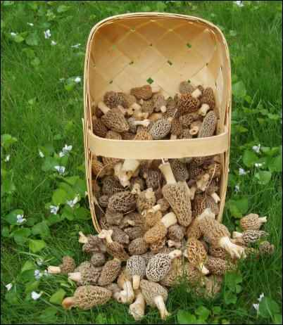 morel mushrooms, identifying morel mushrooms, what are merkels, Hunting for Morels, gathering morel mushrooms