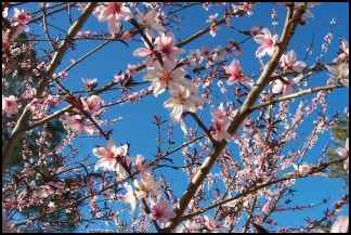 Planning the Homestead Orchard, planning an orchard, orchard planning, planting fruit trees, growing fruit trees, homesteading