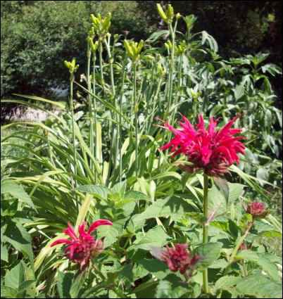 Beebalm and daylilies