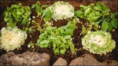 Lettuce, kale, and violas