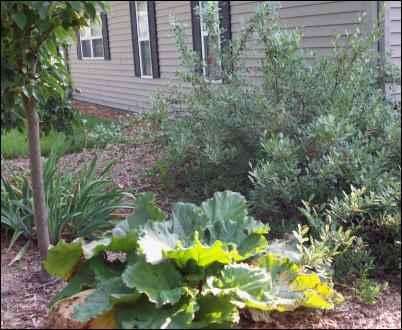 Rhubarb, Hanson bush cherry, and an apple tree