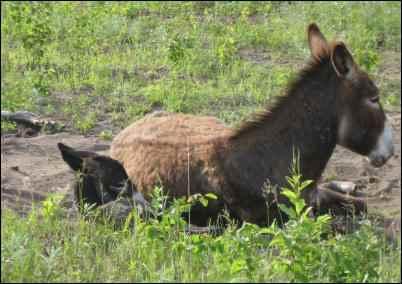 Guardian Donkey