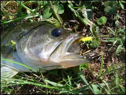 Bream bass butterflies multi use ponds for the for Pond fish species