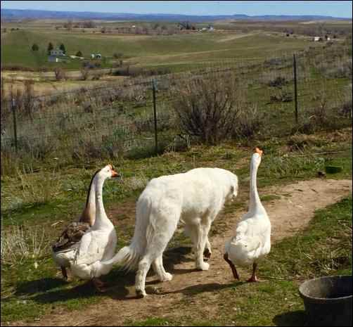 homesteading guardian dog geese