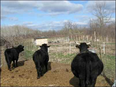 three black cows in corral, country neighbors