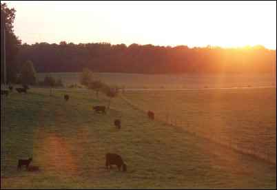 Beginner's Guide to Buying Cattle, homesteading, homestead