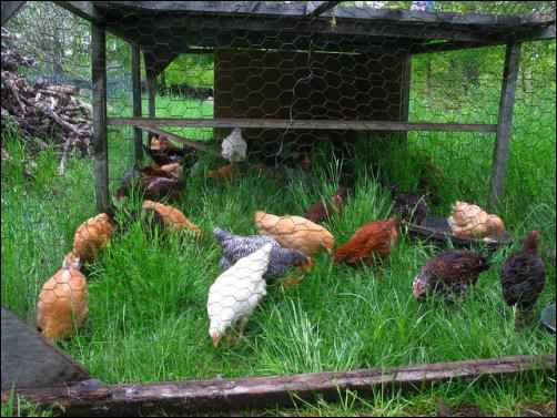 chicken tractor, feeding your chickens, Lower chicken feed costs