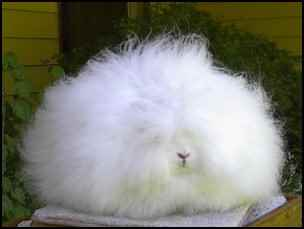 Raising Angora Rabbits