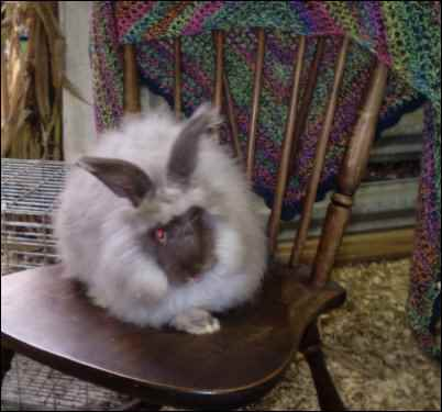 raising angora rabbits for fur
