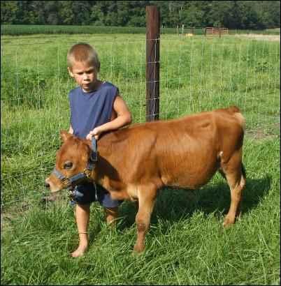 raising Miniature cattle breeds jersey
