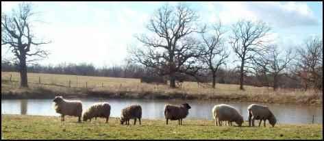 raising sheep, how to raise sheep, beginning raising sheep