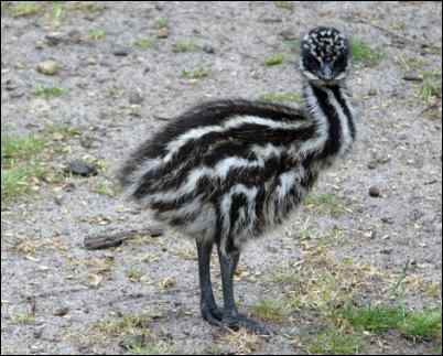 young Emu chick
