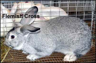 flemish cross rabbit meat
