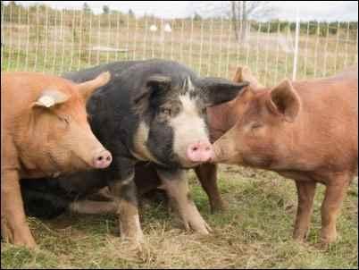 three Pastured Pigs homesteading