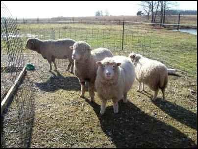 raising sheep for beginners, how to raise sheep, beginning raising sheep