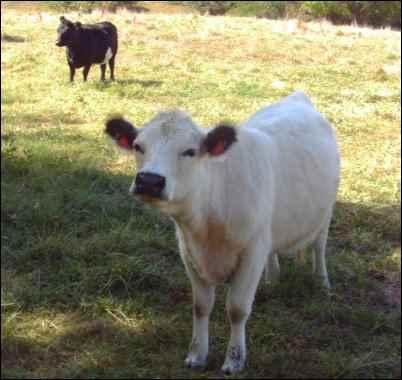 Raising Miniature Cattle Breeds