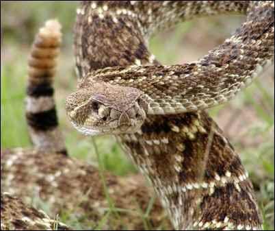 Rattlesnake Photo by Ralph Arvesen