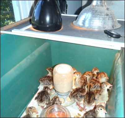 Hatching Chicks With an Incubator, Hatching eggs With an Incubator, homesteading, homestead, chickens