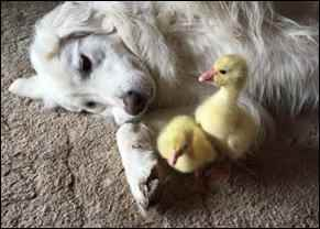 dog with geese