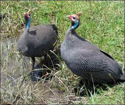 problems raising guinea hens