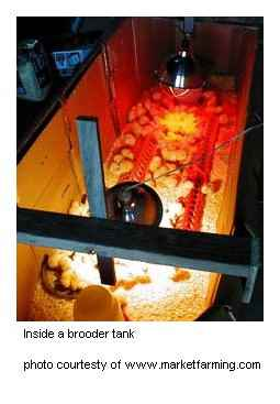 brooder tank chicks