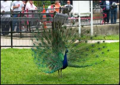 peafowl peacock meat bird
