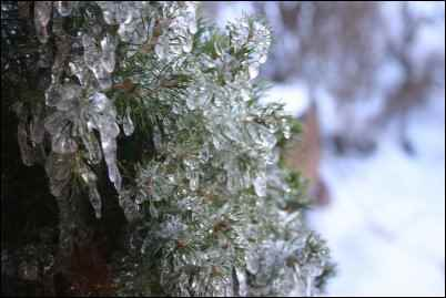 ice covered plant, Homesteader in Denial