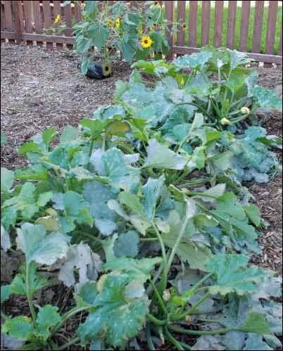 squash plants, Homesteader in Denial