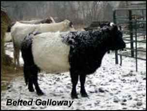 heritage breeds belted galloway