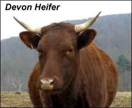 heritage breeds devon cow