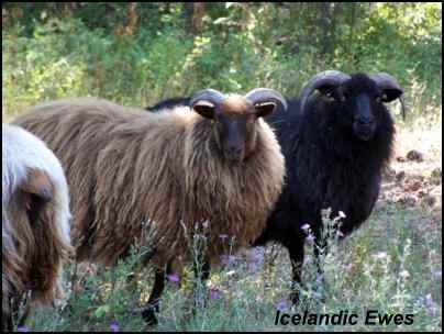 heritage breeds icelandic sheep