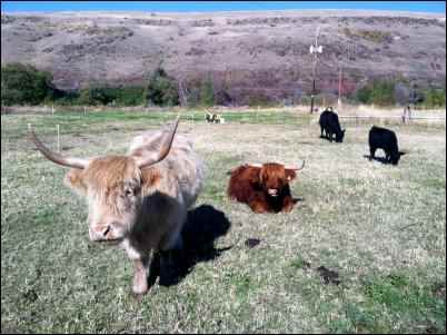 highland beef cattle