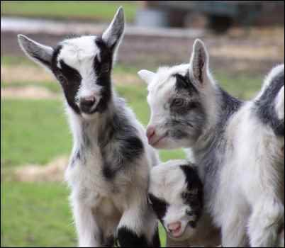 kid goat baby goat kidding