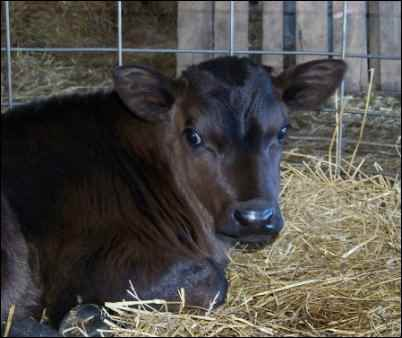 dairy holstien calf jersey calf, Raising dairy beef calves for profit is a great way to earn some homesteading income