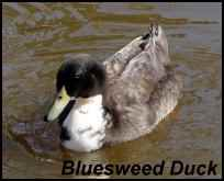 heritage breeds bluesweed duck