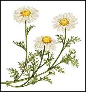 chamomile, medicinal herbs