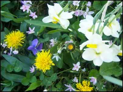 dandelions and wild violets, naturalized lawn