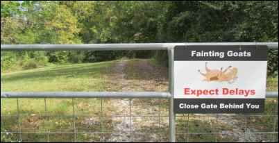 fainting goat sign myotonic goats