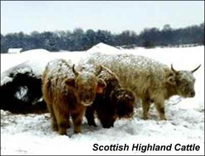 heritage breeds scottish highland cattle