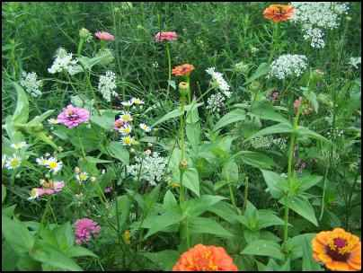 zinnia in naturalized lawn