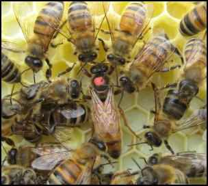 american bee