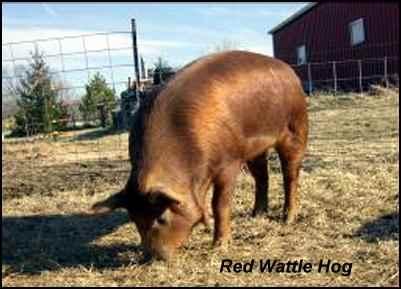 heritage breeds red wattle hog