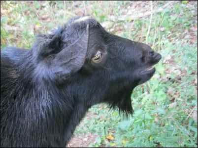 myotonic goats fainting goat