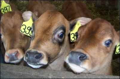 jersey calf dairy calves, Raising dairy beef calves for profit is a great way to earn some homesteading income