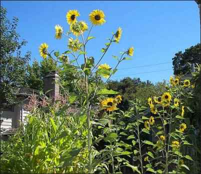 Inside a Sharecropper's Garden: Growing Food in the Inner-city